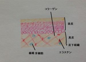画像1肌内部の図